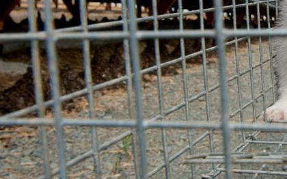 Απαγόρευση της εκτροφής ζώων σε κλουβιά στην ΕΕ